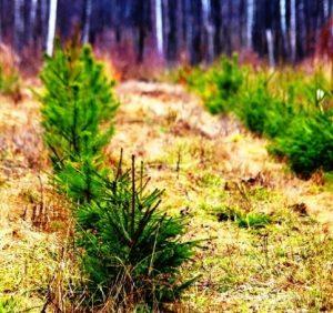Понад 90 гектарів лісу висадять у Верхньогірському лісовому господарстві цього року