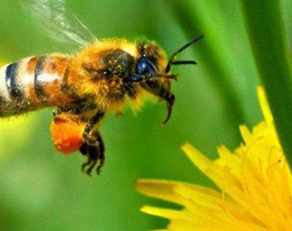 Українські бджоли вирушили рятувати канадських родичів