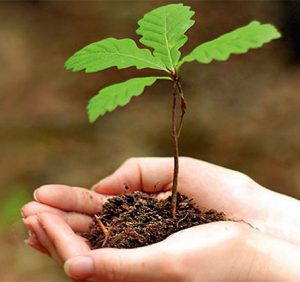 Понад 1 млн саджанців цього року ростимуть у лісах Мокрянського лісомисливгоспу (ВІДЕО)