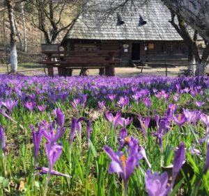"Колочава: Унікальне ""шафранове"" село на Закарпатті (ФОТО)"
