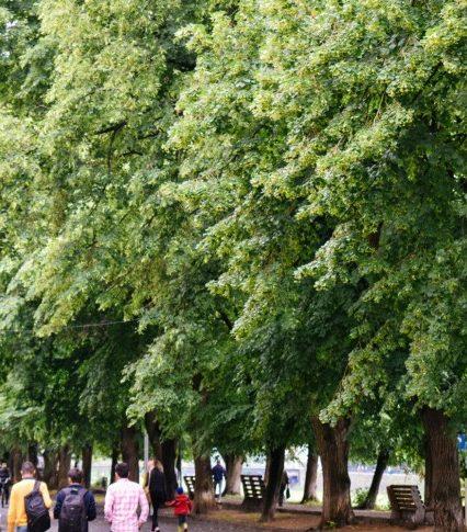 В Ужгороді розцвітає найдовша в Європі липова алея