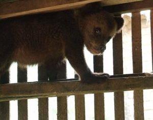 """У центрі реабілітації бурих ведмедів """"Синевир"""" новий мешканець – ведмежатко Петя"""