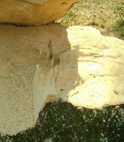 В Мукачеві нещадно рубають сторічні дерева (фото)