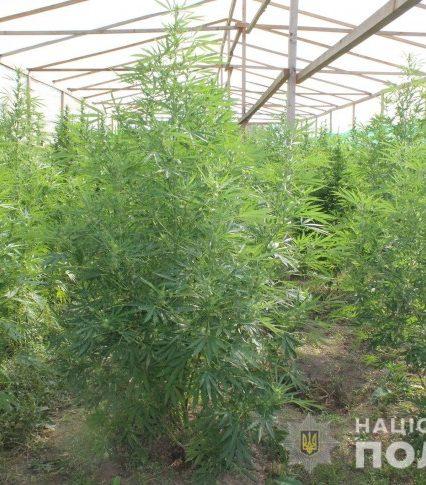 Поліція виявила на Мукачівщині наркоплантацію та вилучила марихуани на більше як 10 мільйонів