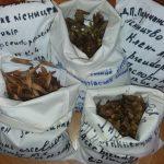 В Перечинському лісгоспі розпочали заготівлю лісового насіння