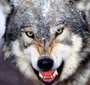 На Рахівщині вовки загризли двох олениць (фото 18+)