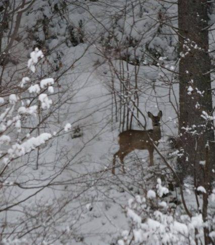 Закарпатські лісівники показали, як козулі добувають їжу взимку (ВІДЕО)