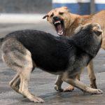 """Собача """"любов"""": Агресивні зграї на вулицях Мукачева (ВІДЕО)"""