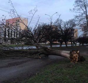 В Ужгороді старе дерево звалилося і перекрило тротуар (фото)