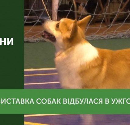 Виставка собак відбулась в Ужгороді (відео)