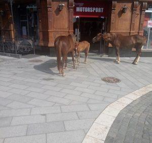 Ужгородом розгулює безпритульний «табун» коней (ФОТО)