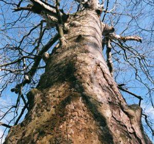 В Ужгороді найстарішим деревам по 400 років