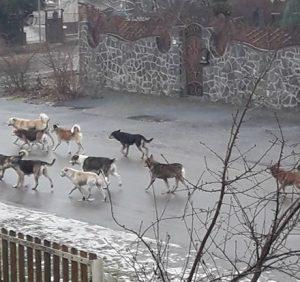 Берегово заполонили зграї агресивних бродячих собак (фото)