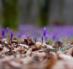 Весняна розкіш: в Закарпатській області зацвів шафран (фото)