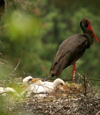 Рідкісні птахи Закарпаття: лелека чорний